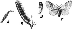 Кольчатый шелкопряд (Malacosoma neustria)