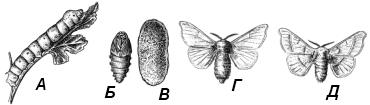 Тутовый шелкопряд (Bombix mori)