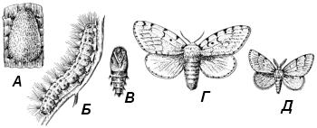 Непарный шелкопряд (Limantria dispar)