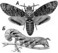 Бражник мертвая голова (Acherontia atropos)