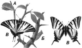 Подалирий (Iphiclides podalirius)