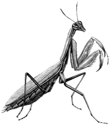 Обыкновеннный богомол (Mantis religiosa)