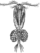 Циклоп (Mesocyclops sp.)