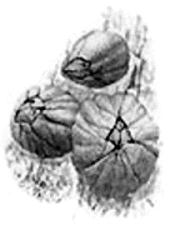 Морские желуди (Balanus sp.)