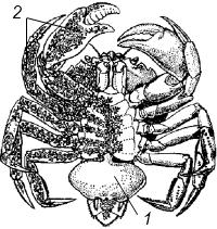 Cаккулина (Sacculina carcini)