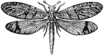 Муравьиный лев (Myrmelionidae)