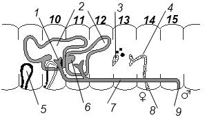 Схема строения половой системы дождевого червя