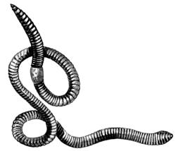 Внешний вид дождевого червя Lumbricus terrestris