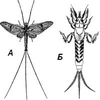 Поденка обыкновенная (Ephemera vulgata)