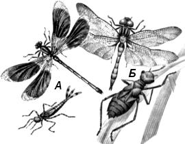 Красотка блестящая (Calopteryx splendens) и стрекоза болотная (Leucorrhinia pectoralis)