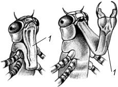 Головы личинок стрекоз