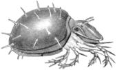 Панцирный клещ (Phthiracarus sp.)