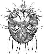 Чесоточный клещ (Sarcoptes scabiei)