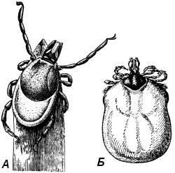 таежный клещ (Ixodes persulcatus) и собачий клещ (Ixodes ricinus)