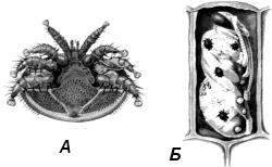 Паразит пчел клещ варроа (Varroa jacobsoni)