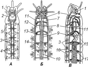 Строение многощетинкового червя