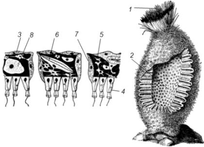 Строение сикона (Sycon sp.)
