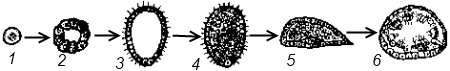Развитие известковой губки (Clathrina sp.)