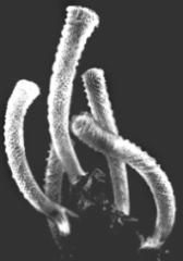 Корзинка Венеры (Euplectella asper)
