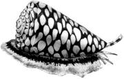 Конус мраморный (Conus marmoreus)