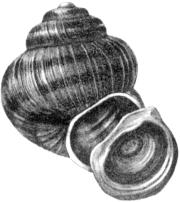 Раковина и крышечка живородки (Viviparus sp.)