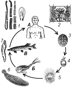 Схема жизненного цикла широкого лентеца
