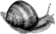 Виноградная улитка (Helix pomatia)