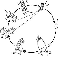 Годовой цикл коловратки