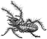 Фаланга (Galeodes araneoides)