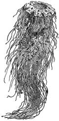 Цианея (Cyanea arctica)