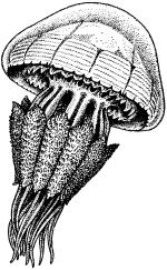 Корнерот (Rhizostoma pulmo)