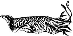 Каракатица (Sepia officinalis)