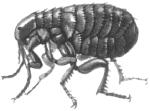 Крысиная блоха (Xenopsylla cheopis)