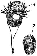 Почкование сосущей инфузории Paracineta patula