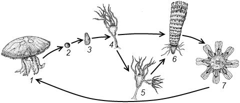 Жизненный цикл аурелии