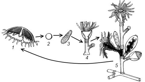 Жизненный цикл обелии