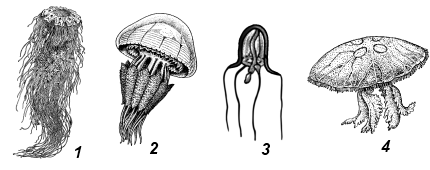 Сцифоидные медузы