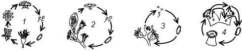 Схема жизненного цикла, характерная для представителей класса Сцифоидные