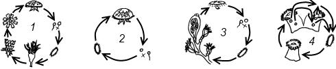 Схема жизненного цикла, характерная для представителей класса Коралловые полипы