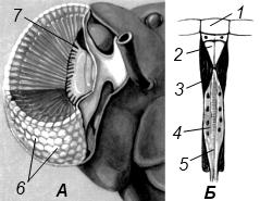Схема строения фасеточного глаза насекомого
