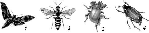 Полиподная личинка имеется у насекомого...