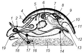 Схема строения брюхоногого моллюска