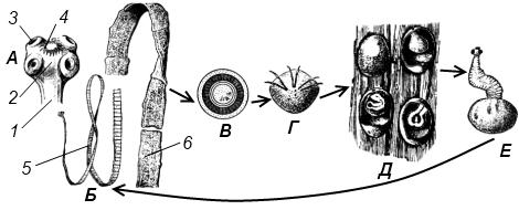 Строение и жизненный цикл свиного цепня