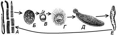 Жизненный цикл широкого лентеца