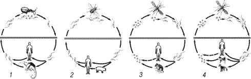 Схема жизненного цикла возбудителя висцерального лейшманиоза