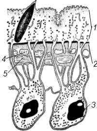 Схема строения кожно-мускульного мешка сосальщиков