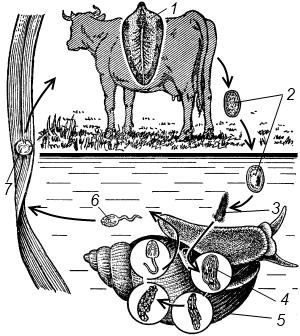 Печёночный сосальщик промежуточный хозяин
