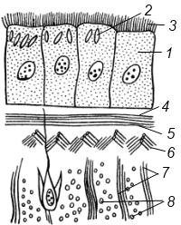 Схема строения кожно-мускульного мешка турбеллярий