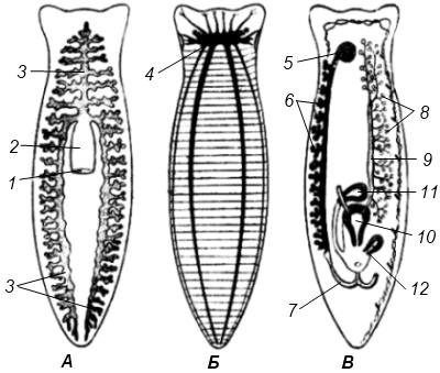 Схема строения молочной планарии
