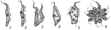 паразиты лимфе человека